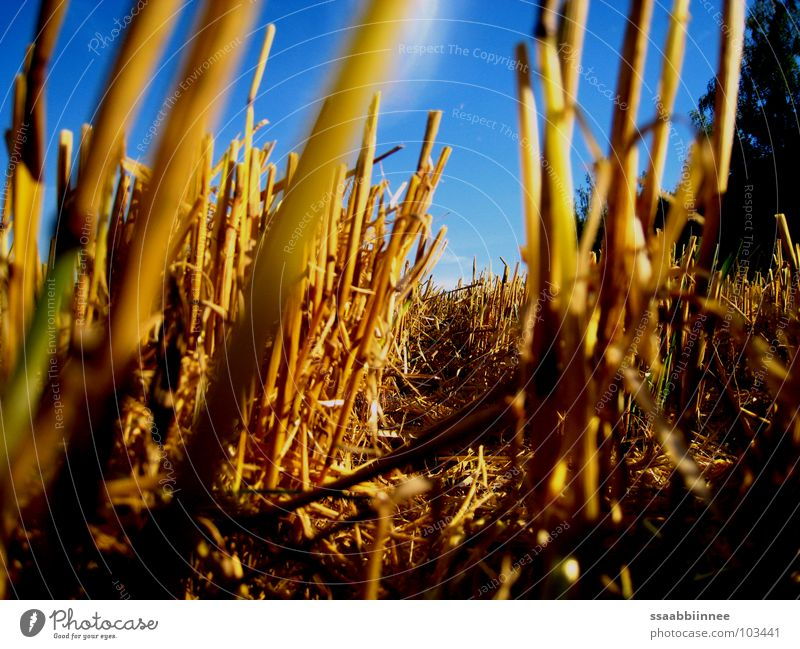 Sky Blue Summer Floor covering Harvest Stubble field