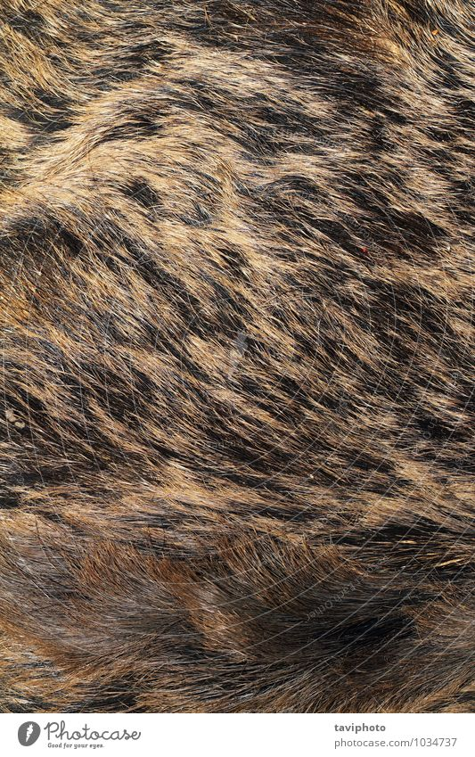 sus scrofa hunting trophy fur Beautiful Skin Hunting Nature Animal Warmth Fur coat Pelt Leather Hair Authentic Natural Wild Soft Brown Gray Black Consistency