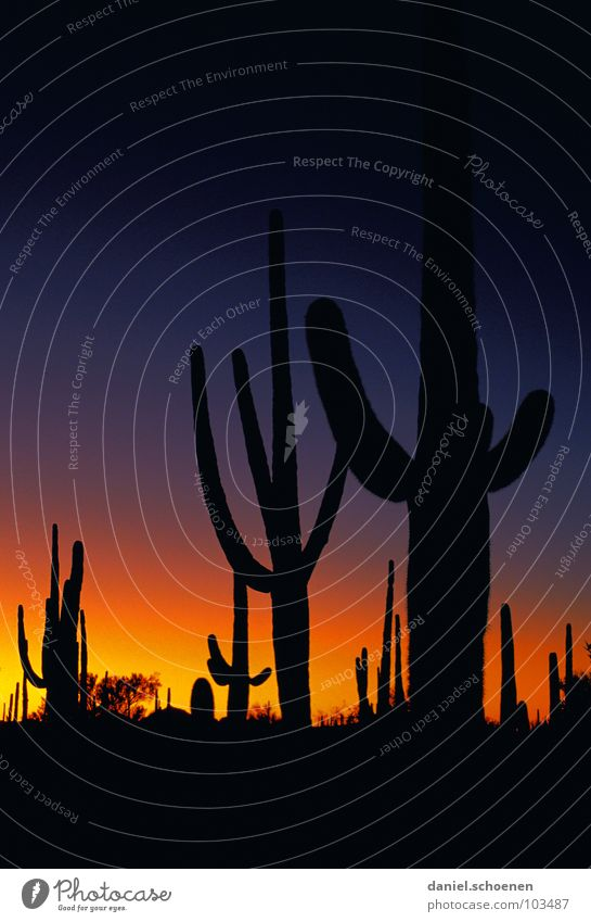 Wild West and howling coyotes Cactus Arizona Light Dusk Sunset Color gradient Mysterious Dramatic Eerie Night Dark Black Back-light Yellow Candelabra cactus