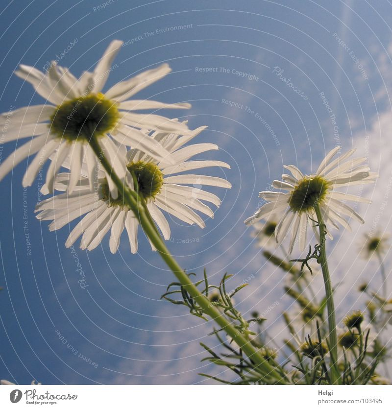 Sky Blue White Green Flower Clouds Yellow Meadow Blossom Healthy Growth Beautiful weather Tea Blossoming Stalk Upward