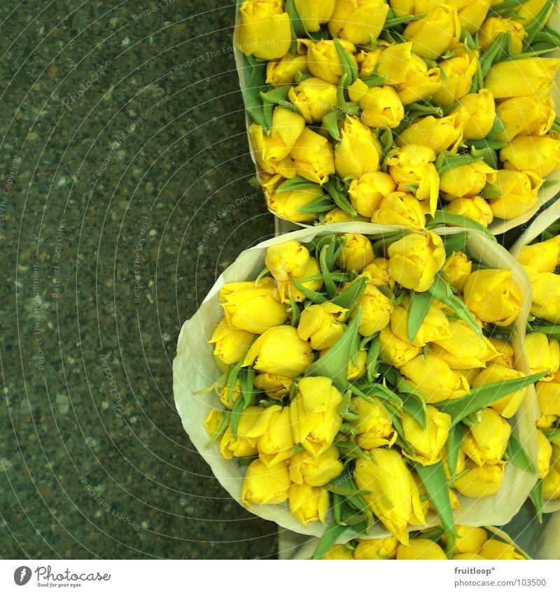 tulip thing! Tulip Yellow Flower Concrete Asphalt Netherlands Great Soft Fresh Beautiful Gaudy Amsterdam flowers Markets Flower shop