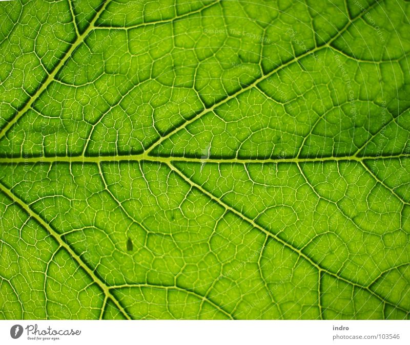 veins Leaf Green Vessel Branched Rachis Nature Arrangement Life