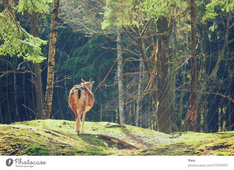 A beautiful back Nature Landscape Summer Plant Tree Grass Forest Animal Wild animal Goats Chamois 1 Going Warmth Green Colour photo Multicoloured Exterior shot
