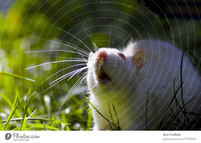 There's something in the air. Rodent Mammal Pet Rat White Albino Red Meadow Eyes