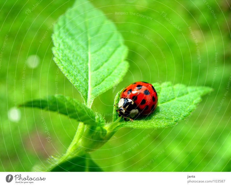 ladybird Ladybird Leaf Red Green Insect Small Summer Beetle Garden Point Nature jarts
