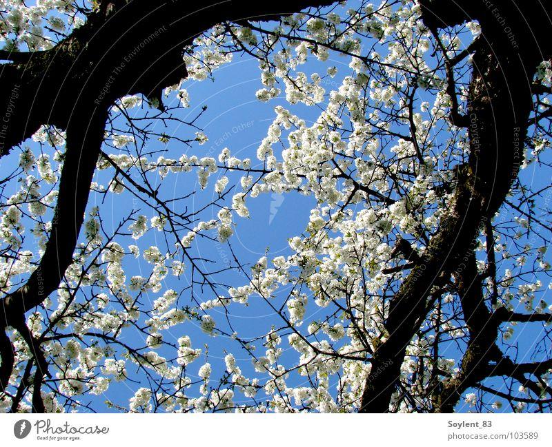 Nature Beautiful Tree Vacation & Travel Blossom Spring Happy Fresh Transience Japan Cherry Cherry blossom Cherry tree