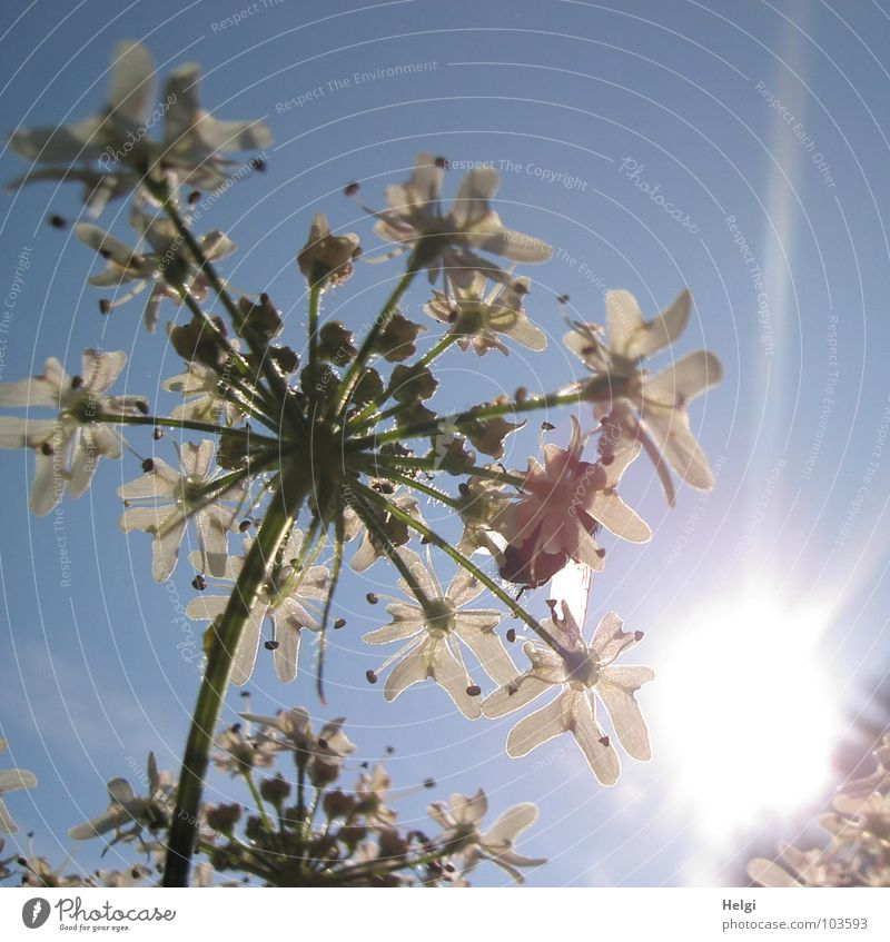 Sky White Sun Flower Green Blue Summer Clouds Lamp Blossom Lanes & trails Together Lighting Field Tall To go for a walk