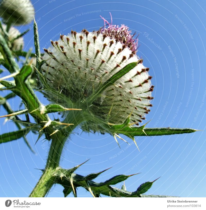 Big thistle blossom in front of a blue sky Colour photo Exterior shot Summer Environment Nature Plant Sky Sunlight Beautiful weather bleed Field Esthetic Tall