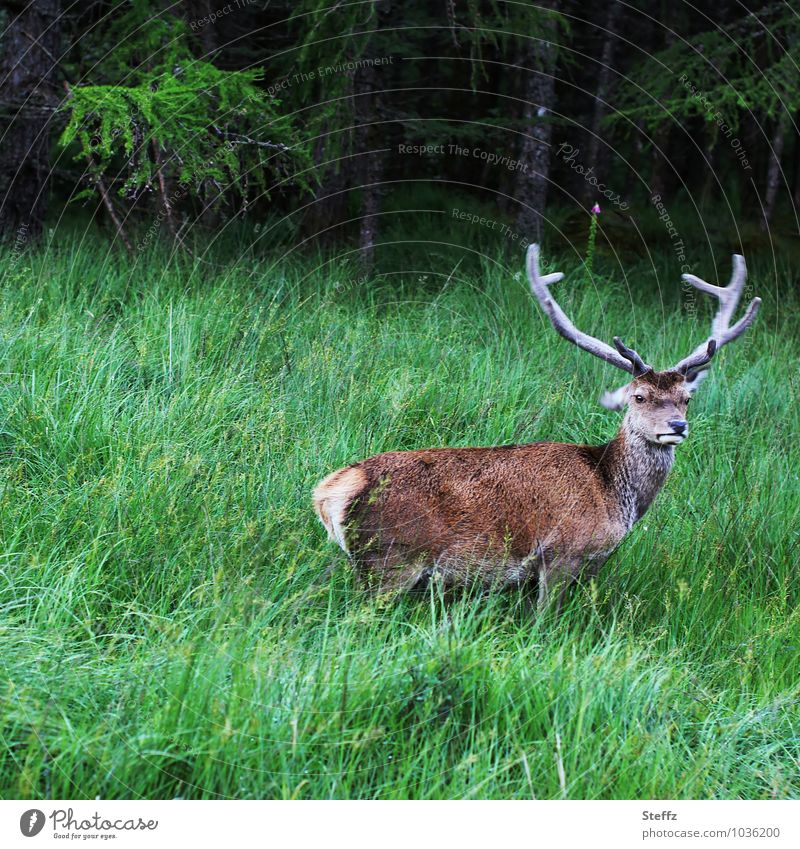 Skeptical view stag Red deer Wild animal Nordic Nordic nature Nordic romanticism northern landscape Scotland Summer in Scotland Freedom Free-living Free-roaming