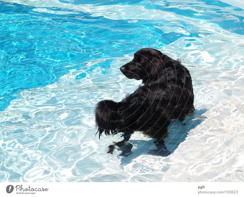 cooling down Physics Hot Swimming pool Cooling Curiosity Playing Expectation Dog Thirsty Black Pelt Loyalty To go for a walk Obey Lop ears Nose Puppydog eyes