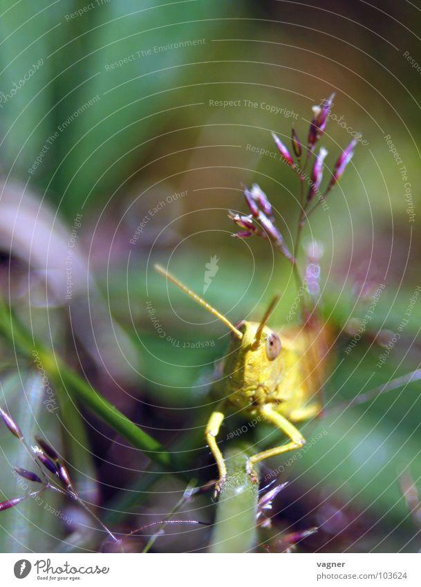 Nature Summer Locust