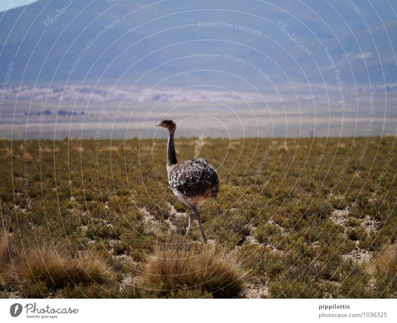 bouquet Nature Landscape Meadow Field Mountain Desert Animal Wild animal Bird Ostrich 1 Movement Walking Elegant Free Adventure Bolivia South America
