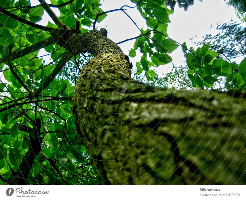 I'm laughing at a branch Tree Nature Plant Foliage plant Branch Branchage Tree bark Indian bean tree Garden Park Forest Leaf Tall Above Perspective Detail