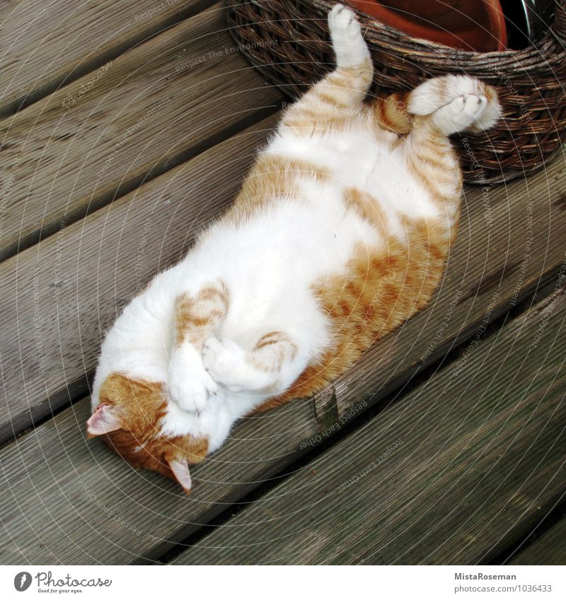 Mr.Hangover Animal Pet Cat 1 Relaxation Lie Sleep Happy Beautiful Red White Trust Safety Safety (feeling of) Fatigue Contentment Domestic cat Pelt Wooden floor