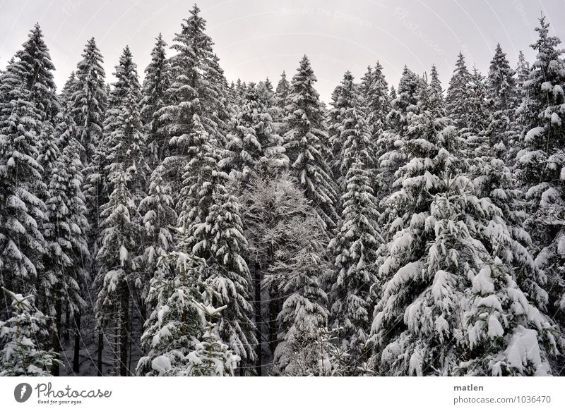 top Environment Nature Plant Sky Winter Weather Ice Frost Snow Tree Forest Brown Black White fir forest Black Forest Treetop Colour photo Subdued colour