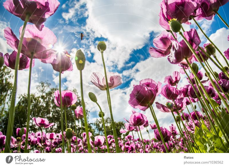 Viewing the poppy from below Nature Plant Sky Clouds Sun Sunlight Summer Beautiful weather Flower Agricultural crop Field Blossoming Illuminate Blue Green