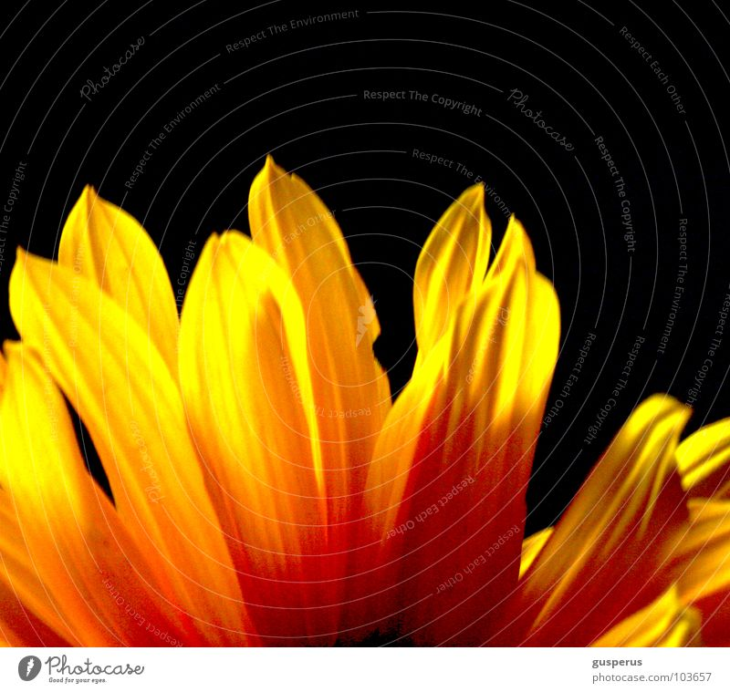 Flower Summer Yellow Blossom Bright Lighting Blaze Flame