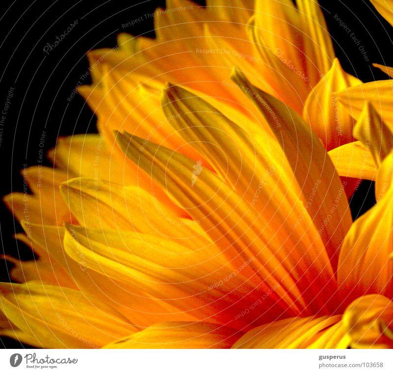 Flower Summer Yellow Blossom Bright Lighting Blaze Flame