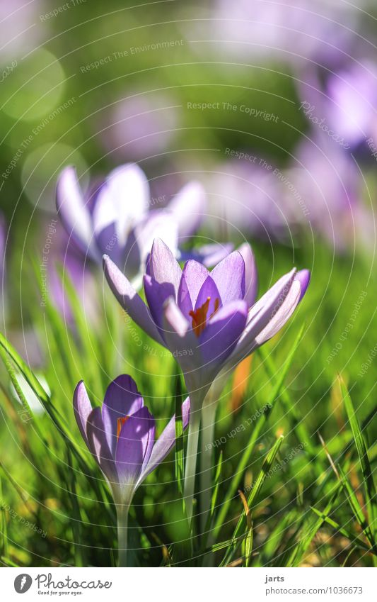 blossom out Nature Plant Spring Beautiful weather Meadow Blossoming Illuminate Fragrance Fresh Natural New Green Violet Spring fever Crocus Colour photo