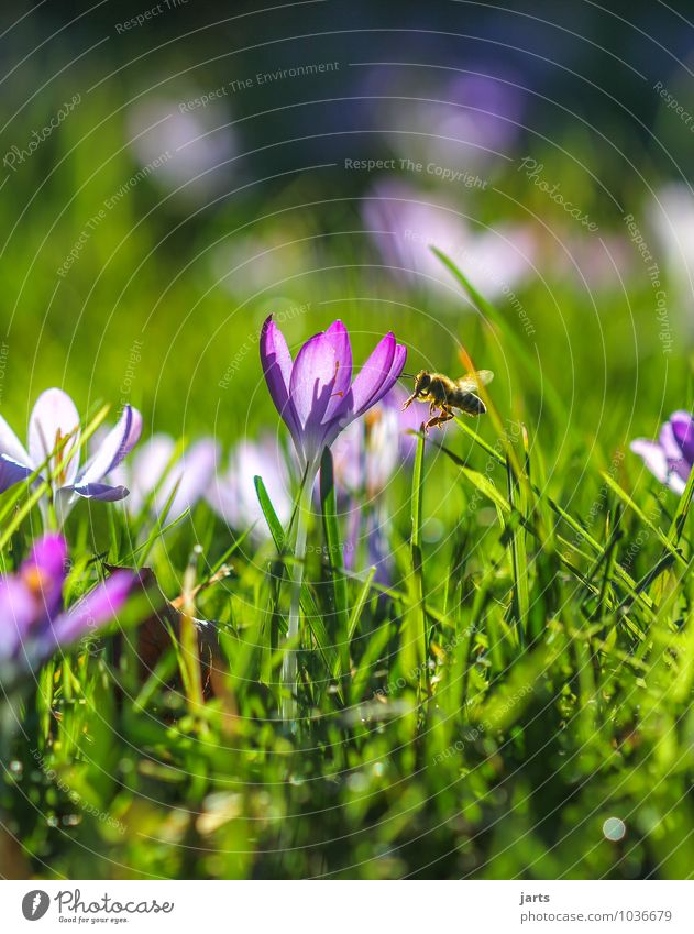 when wird´s once again...... Environment Nature Plant Animal Sunlight Spring Summer Beautiful weather Flower Grass Meadow Wild animal Bee 1 Blossoming Flying