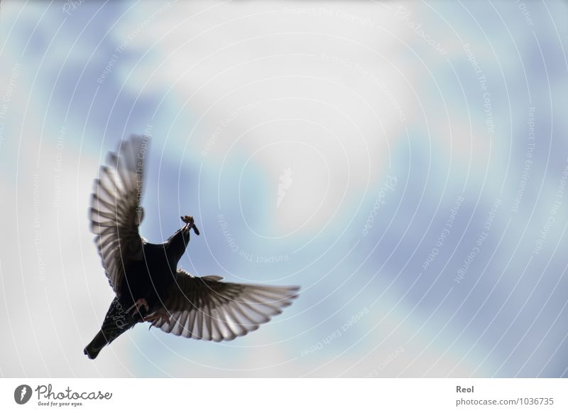 take a plane Hunting Elements Air Sky Clouds Animal Bird Blackbird Flight of the birds Flying Floating Feather Wing Claw Worm To feed Beak 1 Movement Blue White