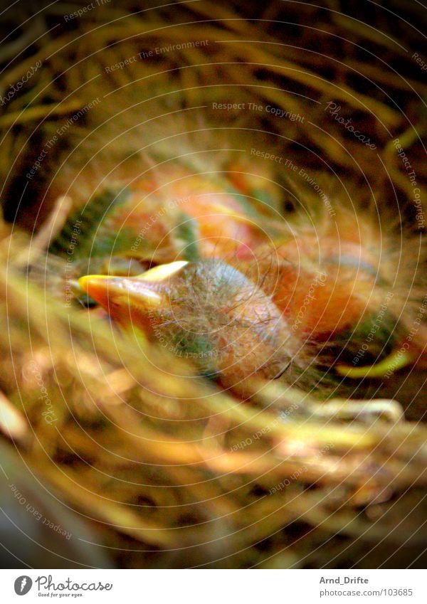 Bird Feather Egg Beak Straw Nest Chick Blackbird