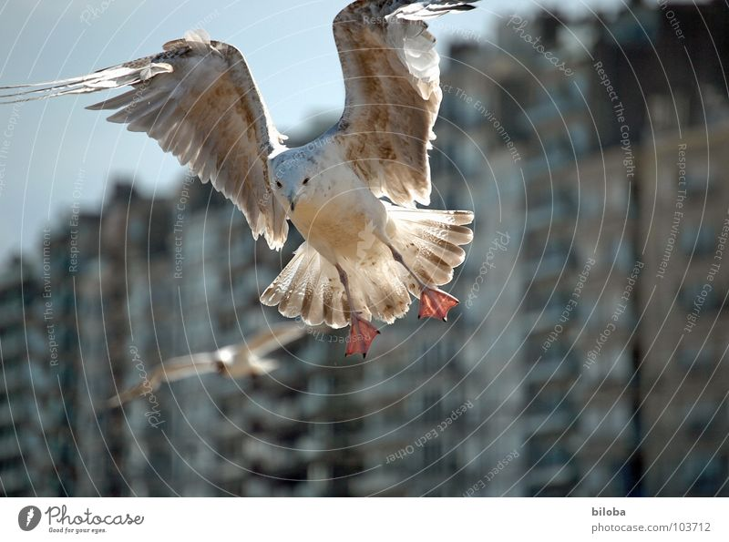 Seagull in the morning back light in the landing approach. Poultry House (Residential Structure) Housefront Brown Belgium Beach Beach life Flirt birds seagulls