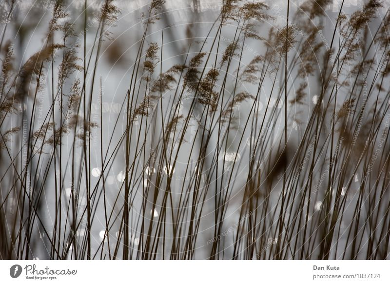 Soft filigree Nature Plant Water Autumn Grass Lakeside River bank Brown Gray Common Reed Reflection Dreamily Arrangement Vertical Colour photo Subdued colour
