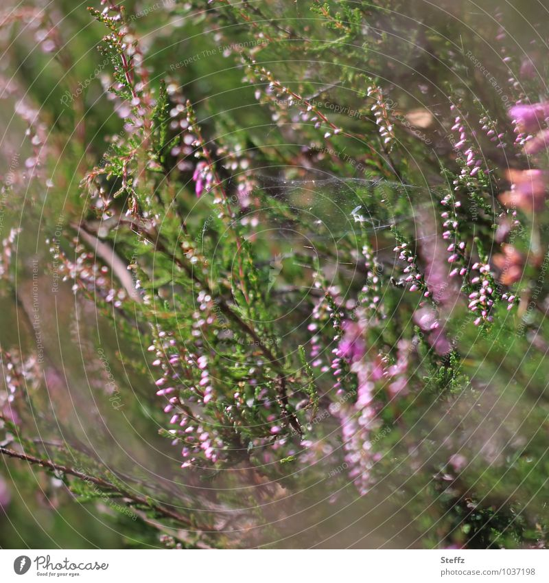 Nature Plant Green Summer Environment Natural Pink Wild Bushes Blossoming Scotland Spider's web Early fall Wild plant Nordic Heathland