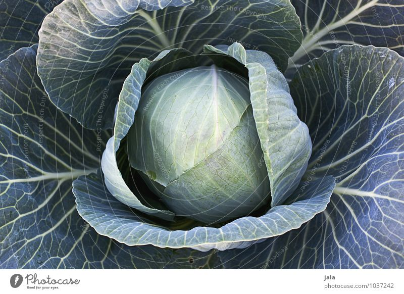 cabbage Food Vegetable Organic produce Vegetarian diet Agriculture Forestry Nature Plant Agricultural crop Cabbage Field Fresh Healthy Delicious Natural