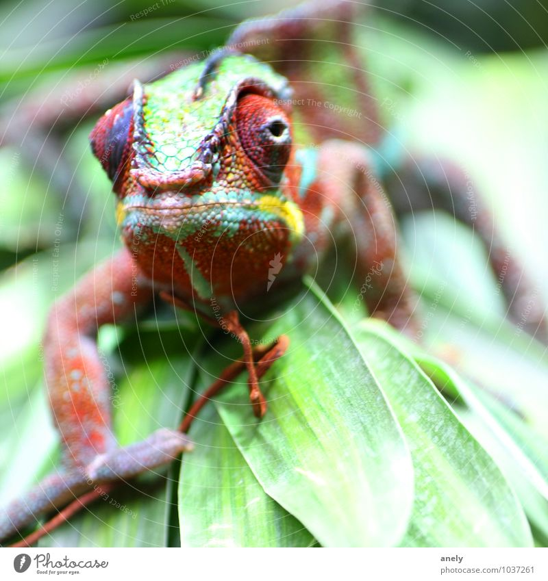 camo suit Nature Plant Leaf Wild animal Chameleon 1 Animal Happiness Virgin forest Vacation & Travel Tropical Eyes Multicoloured Scales Colour Green Exotic