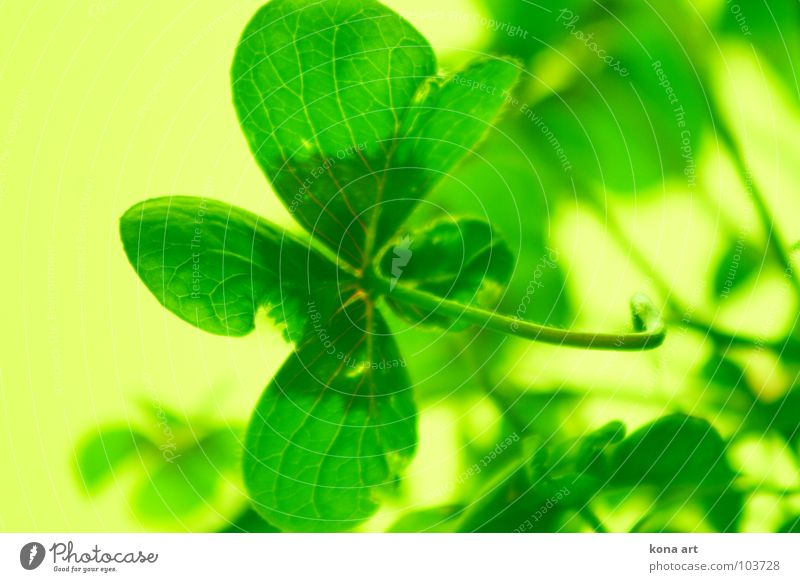 Good luck Clover Four-leafed clover Good luck charm 4 Green Yellow Fresh Cloverleaf Search Find Popular belief Plant Meadow Field Colour Happy 4 sheets Nature