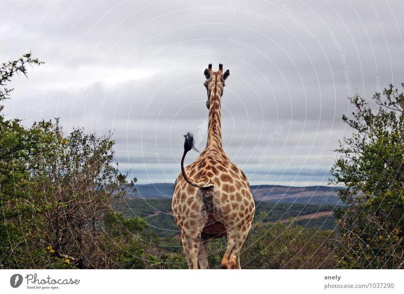 ByeBye Giraffe 1 Animal Contentment Optimism Watchfulness Serene Calm Longing South Africa Safari Tails Reunion Goodbye Vantage point Far-off places Horizon