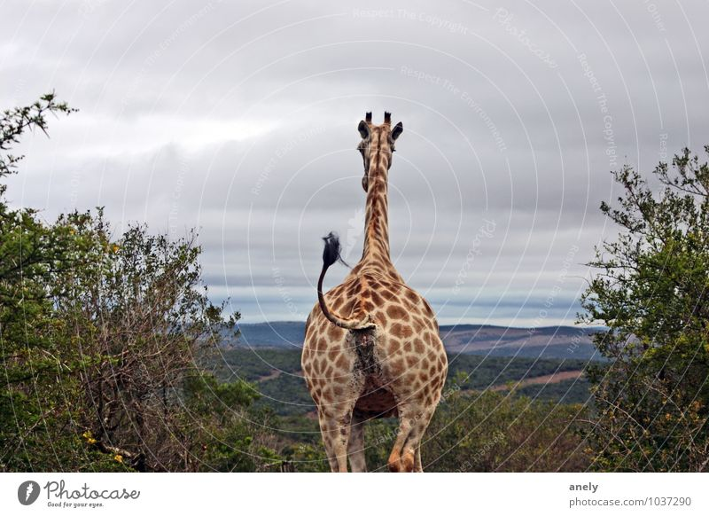 Calm Animal Far-off places Horizon Contentment Vantage point Longing Serene Watchfulness Goodbye Optimism Wilderness Tails Safari Giraffe South Africa