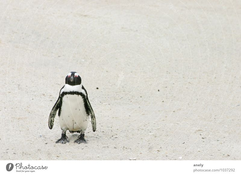 me myself and i Penguin Sand Swimming & Bathing Stand White Contentment Cool (slang) Serene Calm Longing Far-off places Places South Africa Individual 1