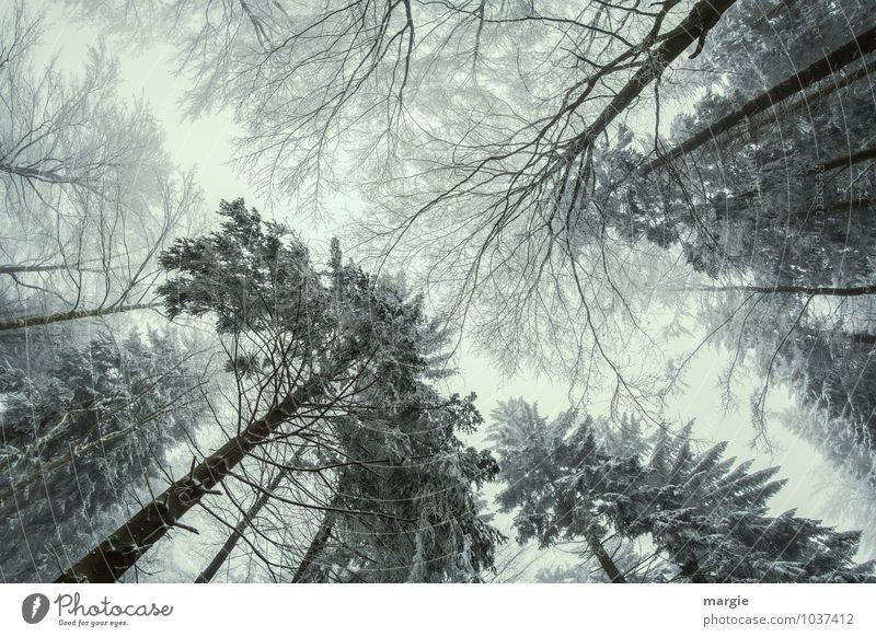 Giants in the forest Environment Nature Sky Winter Tree Leaf Coniferous trees Fir needle Forest Discover Relaxation Exceptional Threat Together Gigantic Bravery