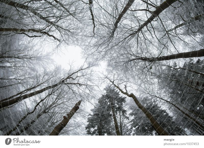 Skywards Environment Nature Plant Animal Winter Climate Weather Ice Frost Snow Tree Leaf Coniferous trees Branch Twigs and branches Forest Freeze Growth Success