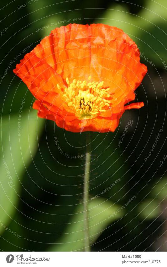 Red Impression Flower Spring Blossom