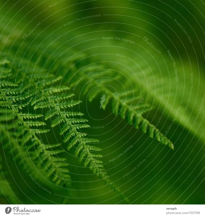 Nature Green Plant Natural Growth Fresh Botany Delicate Fern Leaf green Pteridopsida Organic Plumed Spore Fern leaf