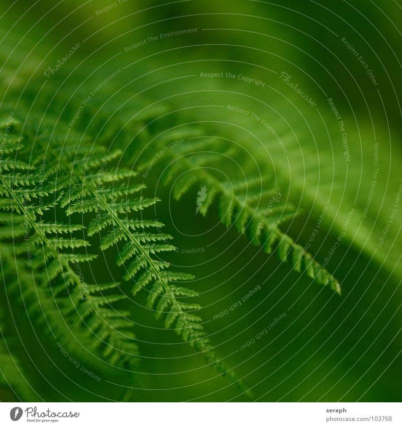 Nature Green Plant Natural Growth Fresh Botany Delicate Fern Leaf green Pteridopsida Organic Plumed Spore Fern leaf