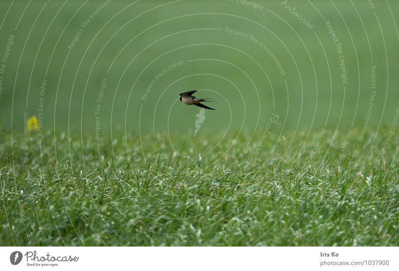 A swallow doesn't make a summer yet. Environment Nature Landscape Plant Animal Summer Grass Meadow Wild animal Bird Wing Swallow 1 Flying Free Natural Speed