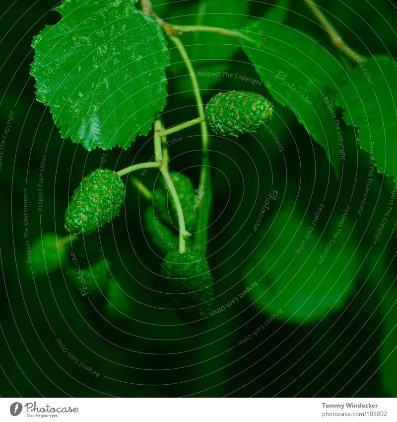 Alnus viridis or green alder Tree trunk Supple Soft Mellow Renewal Innovative Renaissance Spring Summer Green Green undertone Forest death Maturing time Plant
