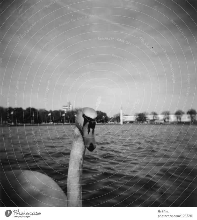 Who's looking at II? Swan Hannover Maschsee Animal Bird White Black Lake Sprengel Museum Waves Footbridge Curiosity Holga Lomography Black & white photo Elegant