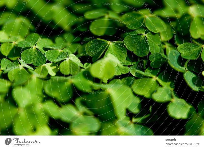 Nature Green Plant Natural Happy Symbols and metaphors Botany Alternative medicine Medicinal plant Clover Cloverleaf Good luck charm Popular belief Fabaceae