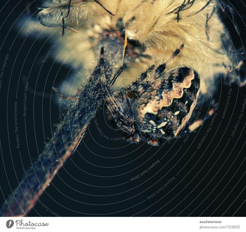 Flower Black Nutrition Dark Legs Food Back Insect Scream Catch Fat Fat Disgust 8 Spider Spider's web