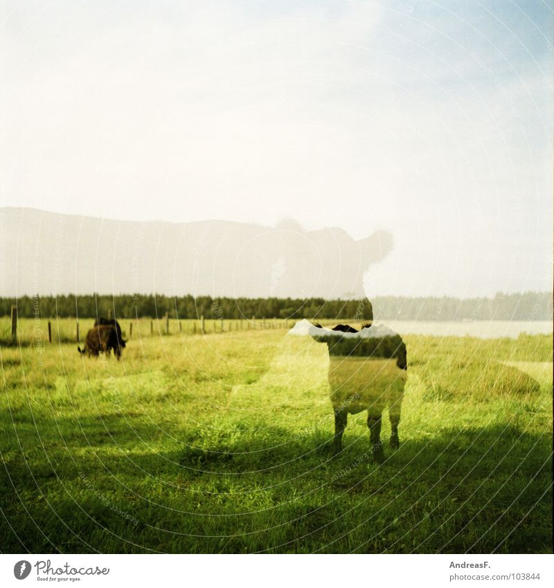 cattle Cow Cattle Green Analog Medium format Double exposure Calf Agriculture Field Pasture Beef Mammal Americas Landscape Ghosts & Spectres  Shadow