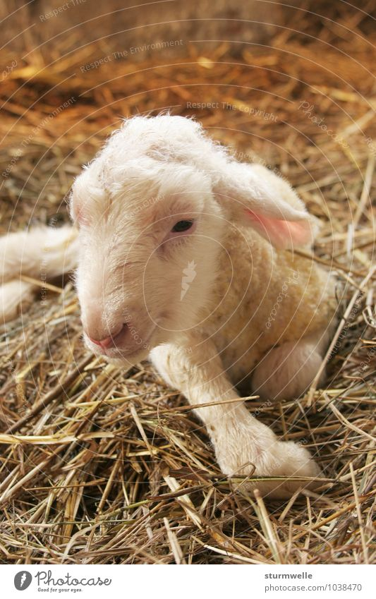 Hello, there I am! - Lamb shortly after birth Animal Pet Farm animal Pelt Sheep 1 Baby animal Observe Discover Smiling Lie Friendliness Small Cute Positive
