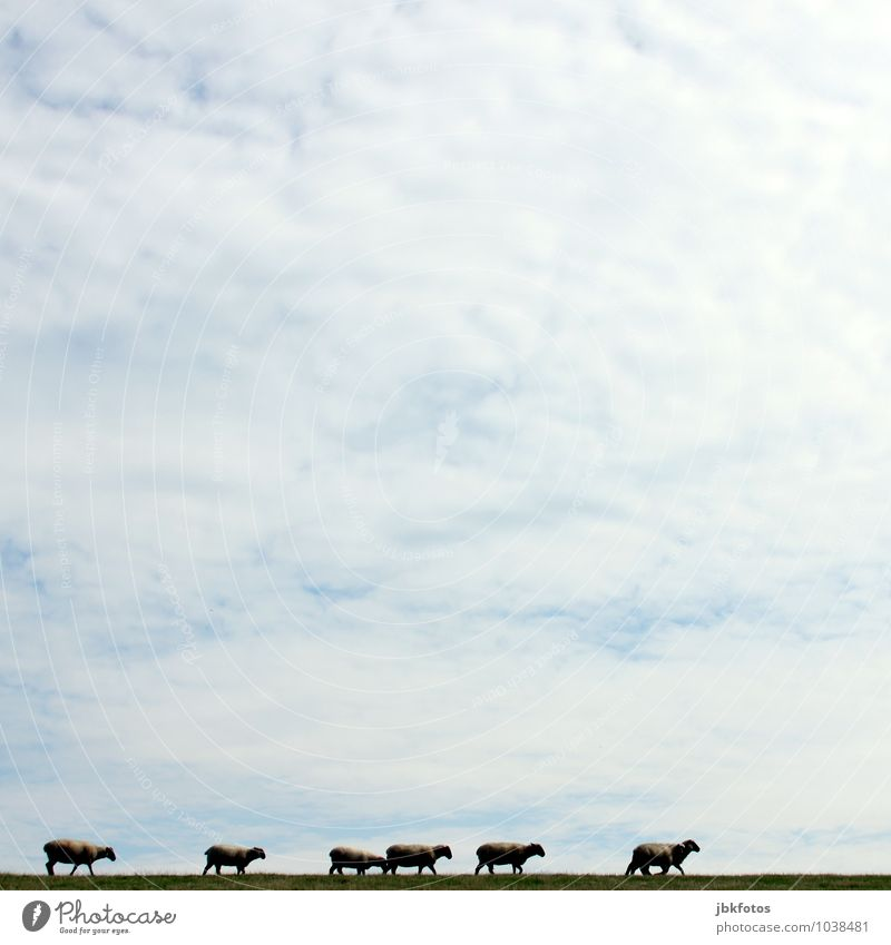 Sky Nature Summer Landscape Clouds Animal Environment Spring Meadow Group of animals Uniqueness Hill Pelt North Sea Sheep Herd