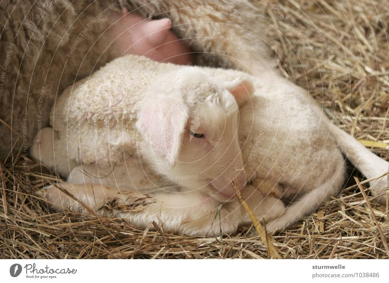 With mum it is most beautiful - lamb one day after the birth Animal Pet Farm animal Pelt Lamb Sheep 1 Baby animal Smiling Lie Dream Friendliness Cuddly Small