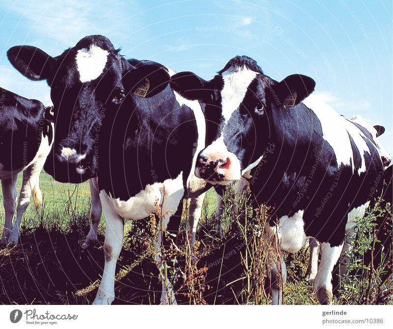 cow Cow Nature Black & white photo